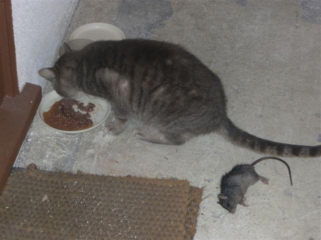 little-gray-eats-dinner.JPG